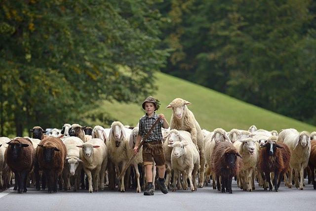 Herde Schafe